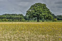 Tree in a wheatfield royalty free stock photos