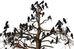 Tree which beset Ravens Royalty Free Stock Image