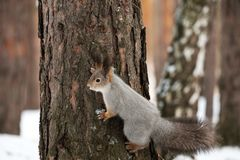 The tree on which the creeping gray squirrel, winter in the woods Royalty Free Stock Images