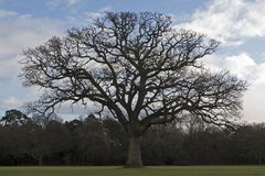 A bare tree on Southampton Common. A tree which has lost its leaves for winter  on Southampton Common, Hampshire, UK Stock Image
