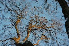 The tree on which sit the Ravens royalty free stock photos