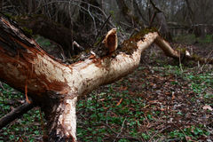 Tree which was gnawed by a beaver. Royalty Free Stock Images