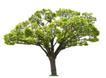 Tree on white. Single green tree isolated on white Stock Images