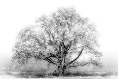 Tree in White Royalty Free Stock Photos