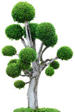 Tree on white background Royalty Free Stock Image