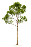 Tree on white background Royalty Free Stock Photos