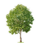 Tree on white background Stock Photography