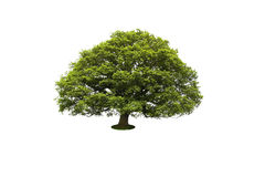 Tree  on white background. Large Tree isolated on white background Stock Photography
