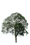 Tree on white background, Royalty Free Stock Image