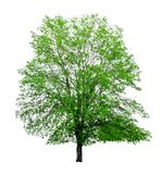 Tree on a white background,clipping paths.  Stock Image