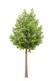 Tree on white background Stock Images