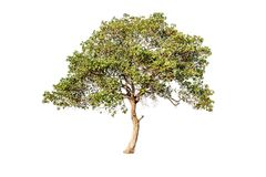 Tree on white background Have branches Good to edit. Tree on white background Tree on white background Have branches Good to edit Royalty Free Stock Image