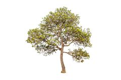 Tree on white background Have branches Good to edit. Tree on white background Tree on white background Have branches Good to edit Stock Photos