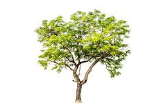 Tree on white background Have branches Good to edit. Tree on white background Tree on white background Have branches Good to edit Royalty Free Stock Photo