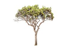 Tree on white background Have branches Good to edit. Tree on white background Tree on white background Have branches Good to edit Royalty Free Stock Photography