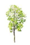 Tree  on white background. Stock Photos