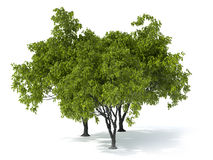 Tree on a white background. Isolated deciduous tree on a white background Royalty Free Stock Images