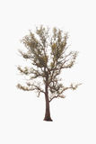 Tree on a white background royalty free stock image