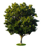 a tree with a white background no1 stock image