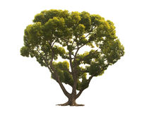A tree with a white background no11 stock image