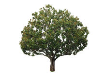 A tree with a white background no13 Royalty Free Stock Image
