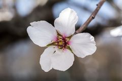 Tree with white blossom. Macro shot of tree with white blossom Stock Photo