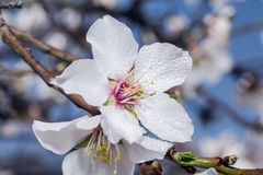 Tree with white blossom. Macro shot of tree with white blossom and water drop Stock Photography