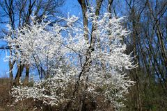 Tree with white blossoms. A tree with white blossoms Stock Photos
