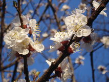 Tree white blossoms Royalty Free Stock Photography