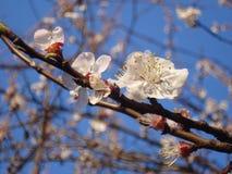 Tree white blossoms Stock Image