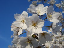 Tree white blossoms. Bunch of tree white blossoms on blue sky in spring Royalty Free Stock Images