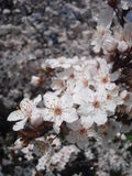 Tree white blossoms in spring Royalty Free Stock Photography