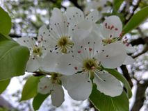Tree white flower. Spring closeup on a flower that soon will bear an edible juicy fruit Royalty Free Stock Photo