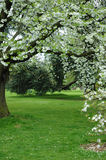 Tree with white flowers. Tree with white spring flowers blooming in a lush green park Stock Images