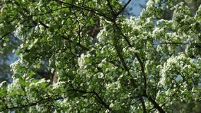 Tree with white flowers against the blue sky, vertical movement stock video footage
