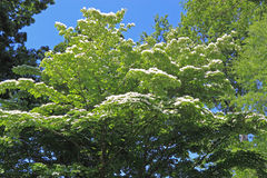 Dogwood Tree. With White Flowers on blue sky Stock Images