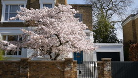 A tree with white flowers in front of the house. London. England. United Kingdom.  Spring decorates the city with bright colors stock video