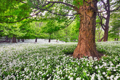 Tree in white flowers meadow, beauty forest landscape Royalty Free Stock Image