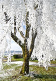 Tree with White Frost Laced Branches. Tree with white frosty laced branches on a sunny day stock images