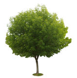 A tree with a white ground no2 royalty free stock image