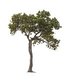 Tree on white Royalty Free Stock Image