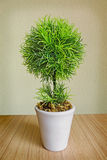 Tree in a white pot Stock Image