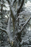 Tree white of snow Royalty Free Stock Photos