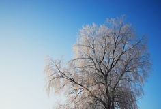 Tree with white snow in blue sky Royalty Free Stock Photography