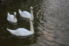 The tree white swans at the mere Stock Photo