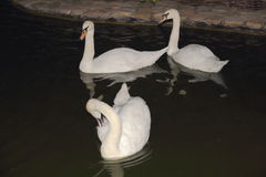 The tree white swans at the mere Royalty Free Stock Image