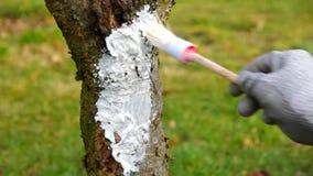 Tree whitening. In winter, gardening stock video