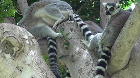 Tree With Wild Lemurs. Stock video in 4k or HD resolution stock video