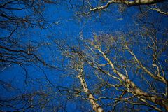 Tree willow against the blue sky.  royalty free stock photo