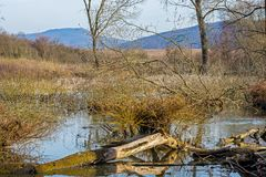 Tree, willow fallen in the lake and blue sky. Tree, willow fallen in the lake stock image